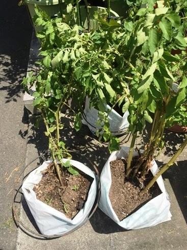 袋でジャガイモ栽培6月3日1.jpg